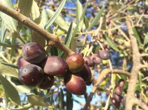 olive tree - credit olivia pasini